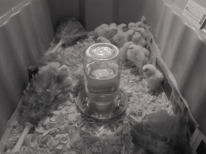 baby chicks first day