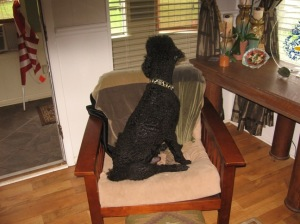 Poodle Home Security 2